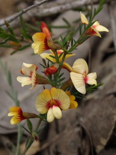 Eutaxia virgata