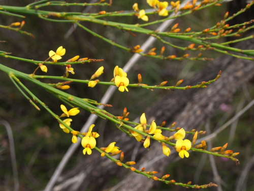 Viminaria juncea - Swish Bush