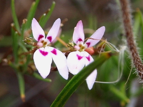 Stylidium sp.
