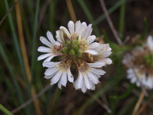 Scaevola lanceolata - White Fanflower