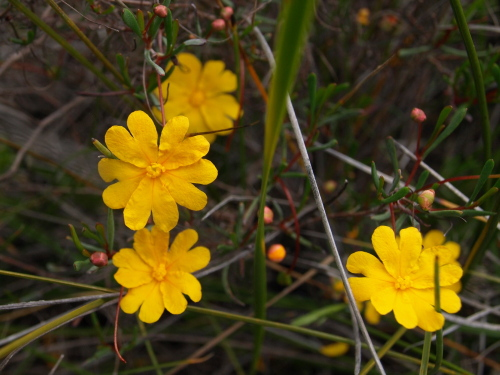 Hibbertia stellaris - Orange Stars